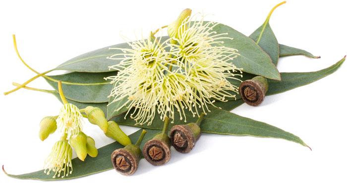 Eucalyptus Plant Drawing